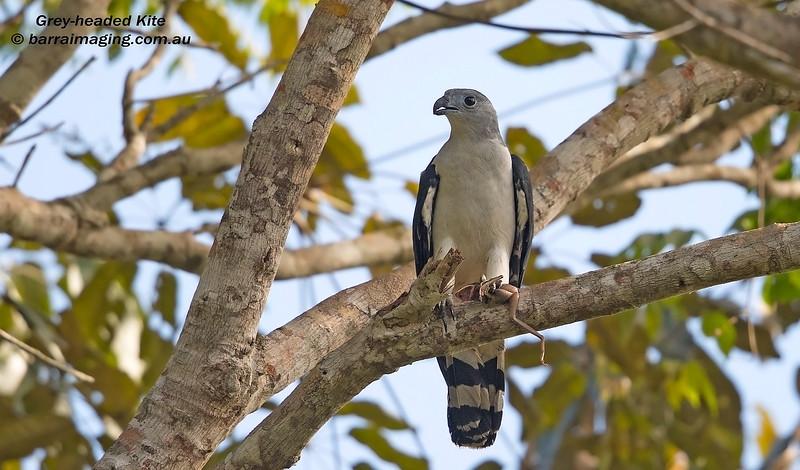 Grey-headed Kite
