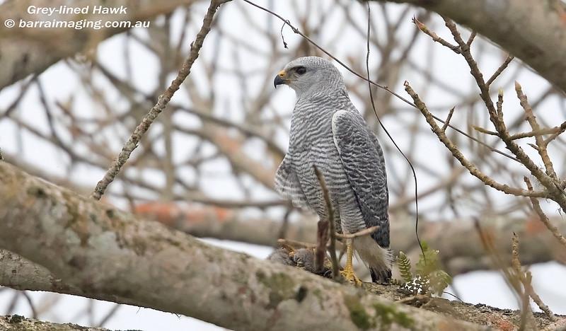 Grey-lined Hawk