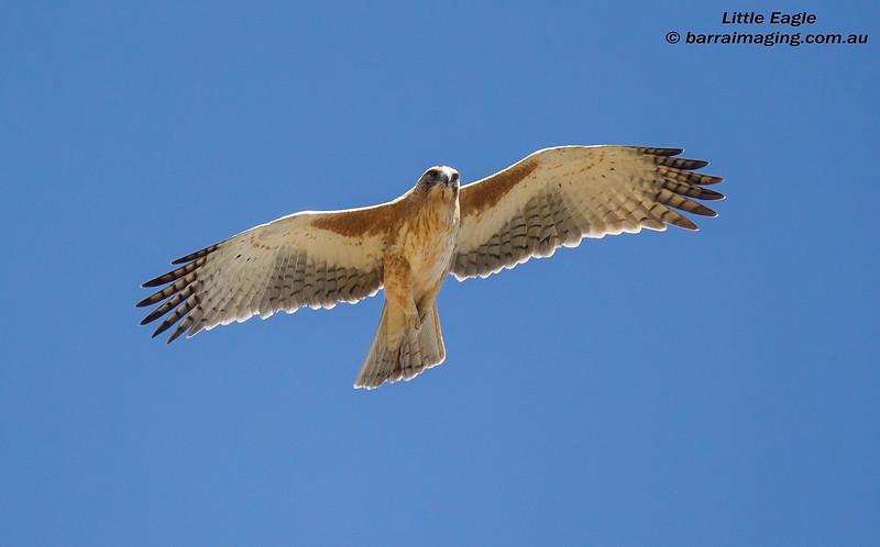 Little Eagle light morph