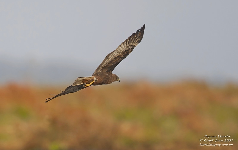 Papuan Harrier