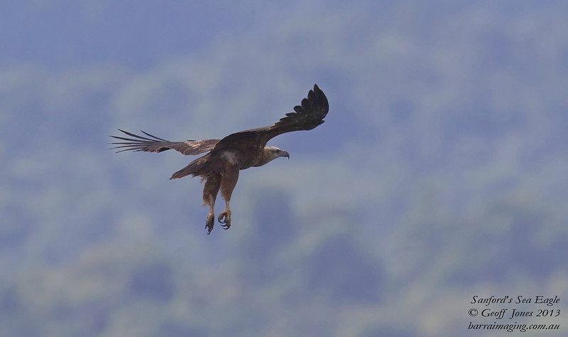 Sanford's Sea Eagle