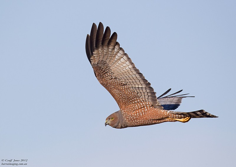 Spotted Harrier