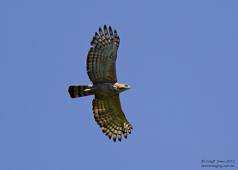 Wallace's Hawk-Eagle