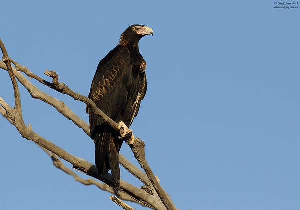 Wedge-tailed Eagle old adult