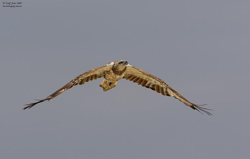 White-bellied Sea Eagle immature