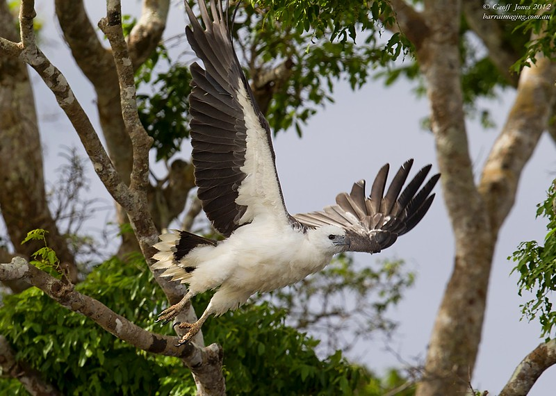 White-bellied Sea Eagle Imm ( Haliaeetus leucogaster ) Bensbach Lodge PNG August 2012.jpg PNG01123a