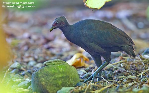 Melanesian Megopode