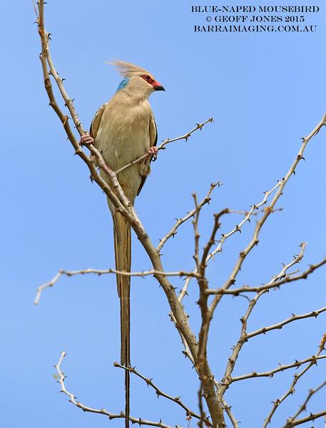 Blue-naped Mousebird