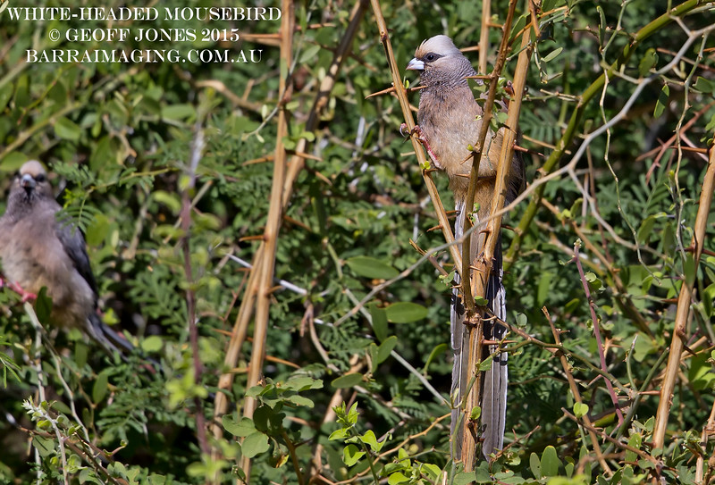 White-headed Mousebird