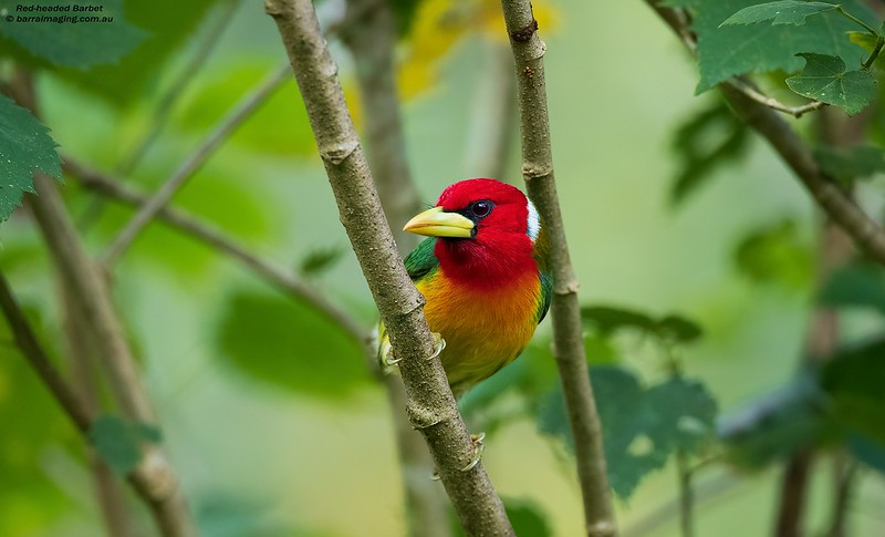 Red-headed Barbet male