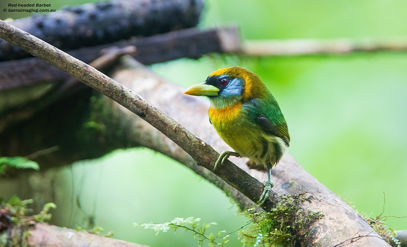 Red-headed Barbet female