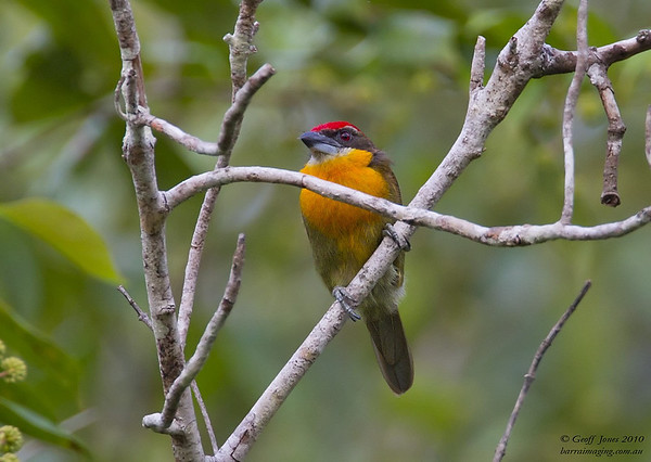Barbets New World Family Capitonidae