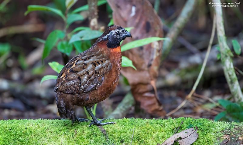 Rufous-breasted Wood Quail male