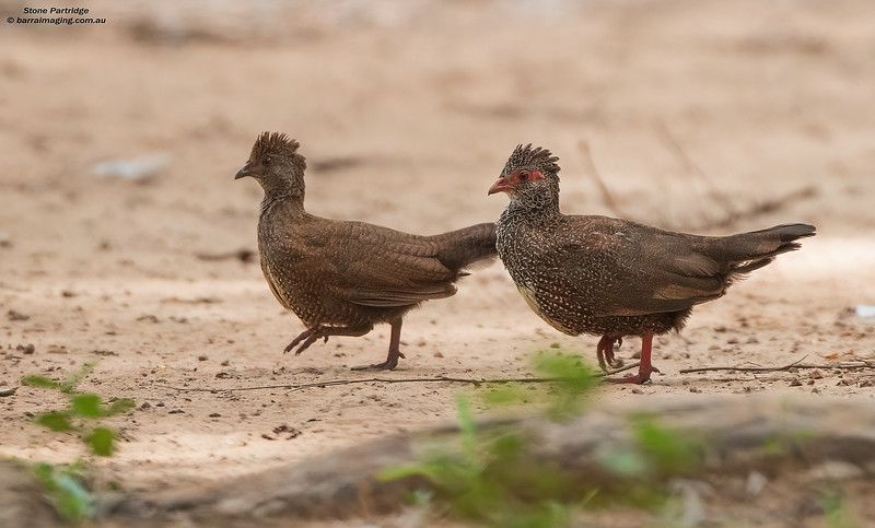 Stone Partridge immature and adult