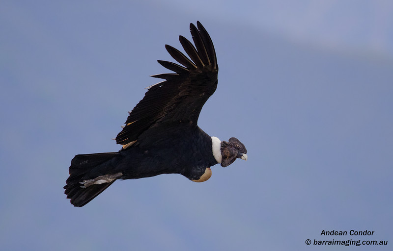 Andean Condor male