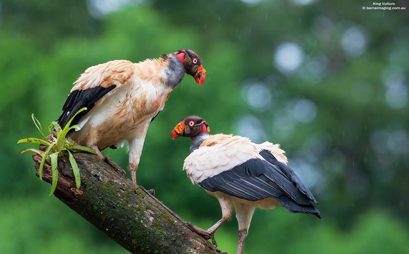 King Vulture adult