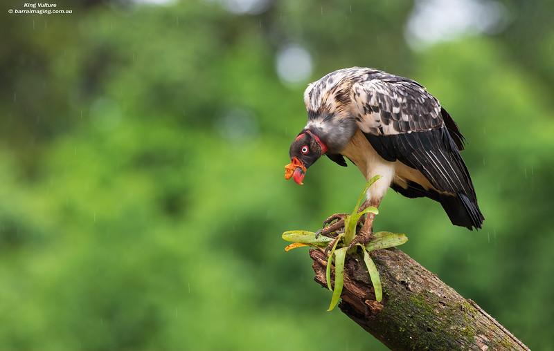 King Vulture immature