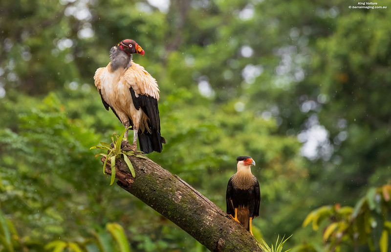 King Vulture adult and Crested Caracara
