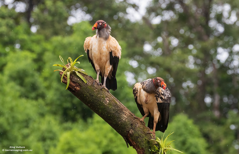 King Vulture adult and immature