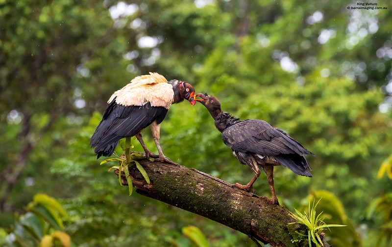 King Vulture adult and juvenile