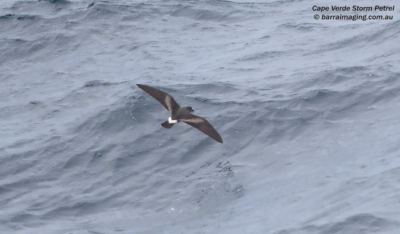 Cape Verde Storm Petrel