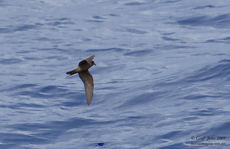 Matsudaira's Storm-Petrel ( Hydrobates matsudairae ) JA-MASP-02 At sea off Northern Marianas April 2009.jpg