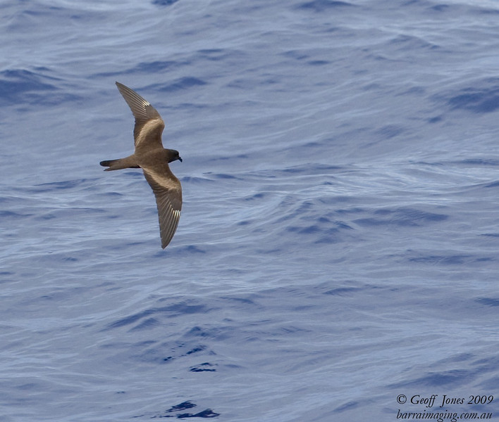 Matsudaira's Storm-Petrel ( Hydrobates matsudairae ) JA-MASP-01 At sea off Northern Marianas April 2009.jpg