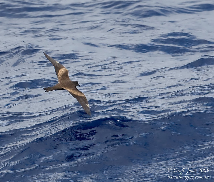 Matsudaira's Storm-Petrel ( Hydrobates matsudairae ) JA-MASP-04 At sea off Northern Marianas April 2009.jpg