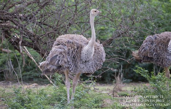 Common Ostrich female