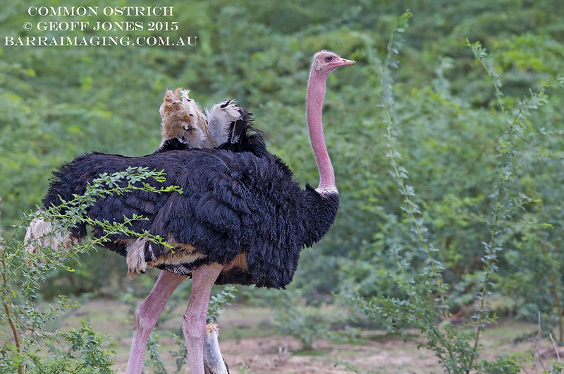 Common Ostrich male