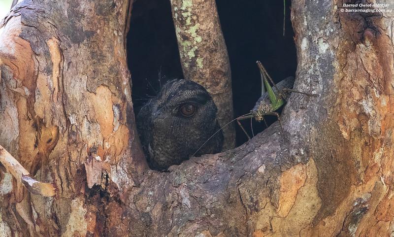 Barred Owlet-nightjar