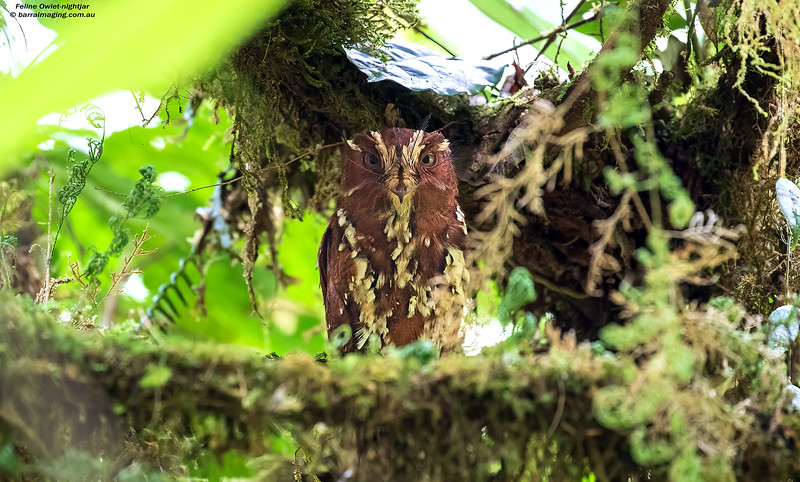 Feline Owlet-nightjar