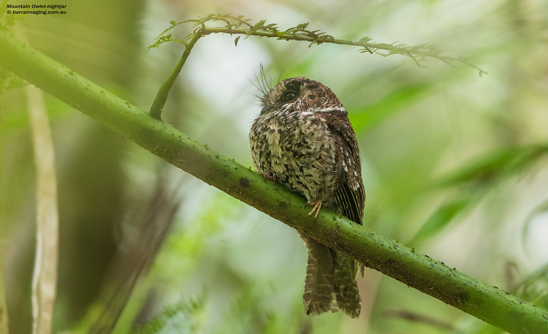 Mountain Owlet-nightjar