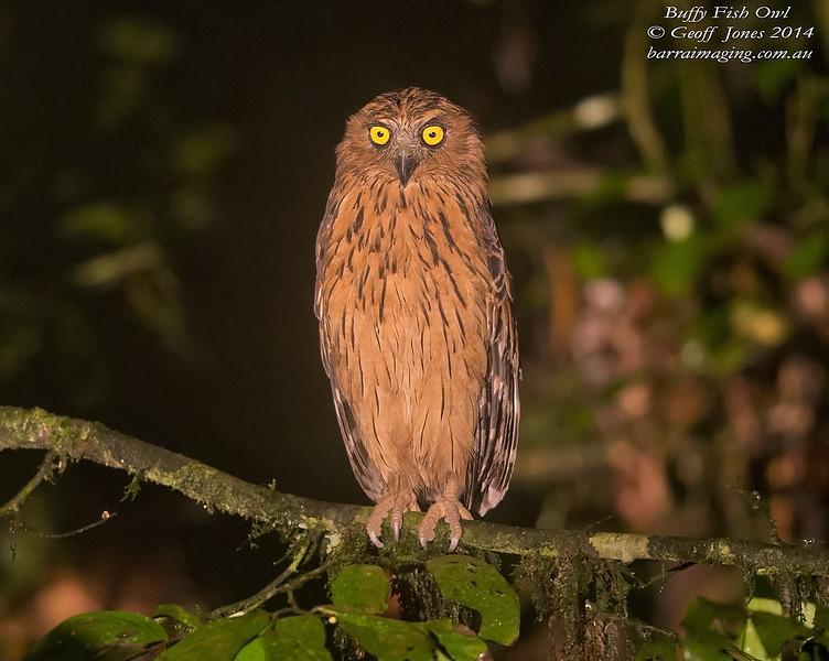Buffy Fish Owl ( Ketupa ketupu ) Nom sp Danum Valley Borneo June 2014 BO-BUFO-01