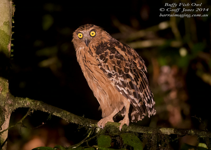 Buffy Fish Owl ( Ketupa ketupu ) Nom sp Danum Valley Borneo June 2014 BO-BUFO-02