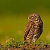Burrowing Owl Athene cunicularia Fort Lauderdale Florida April 2008 NA-BUOW-02