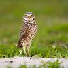 Burrowing Owl Athene cunicularia Fort Lauderdale Florida April 2008 NA-BUOW-01