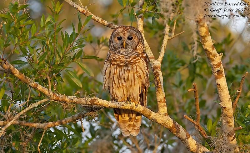 Northern Barred Owl Strix varia Lake Cypress Florida May 2007 NA-NBOW-03