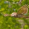 Northern Barred Owl Strix varia Lake Cypress Florida April 2008 NA-NBOW-02