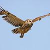 Northern Barred Owl Strix varia Lake Cypress Florida April 2008 NA-NBOW-01