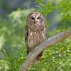 Northern Barred Owl Strix varia Lake Cypress Florida May 2007 NA-NBOW-04