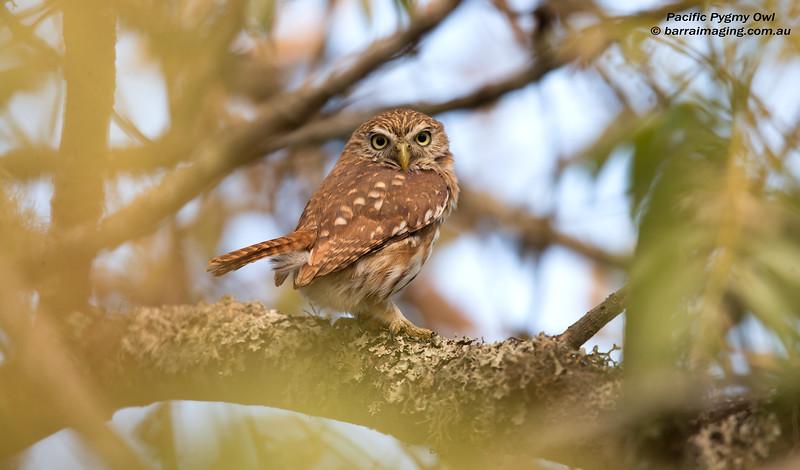 Pacific Pygmy Owl