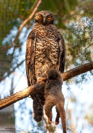 Powerful Owl
