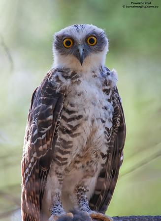 Powerful Owl immature