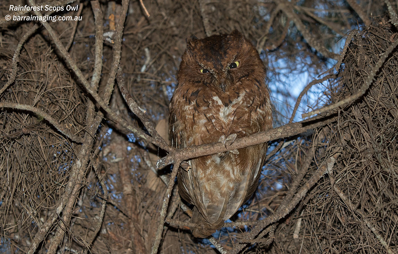 Rainforest Scops Owl