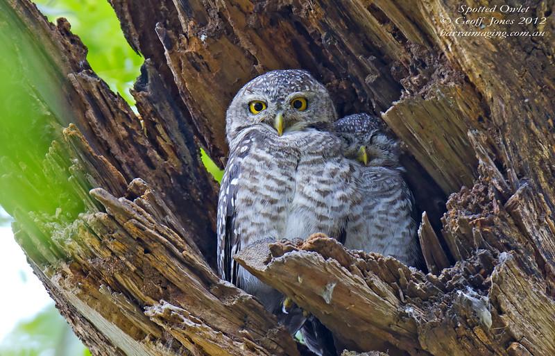 Spotted Owlet Athene brama Bangkok Thailand May 2012 TH-SPOL-02