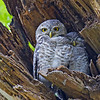 Spotted Owlet Athene brama Bangkok Thailand May 2012 TH-SPOL-02
