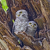 Spotted Owlet Athene brama Bangkok Thailand May 2012 TH-SPOL-01