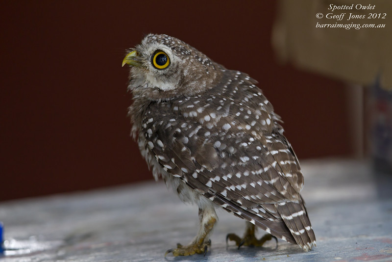 Spotted Owlet juvenile