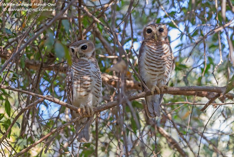 White-browed Hawk-Owl